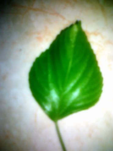 daun anting-anting atau lateng putih