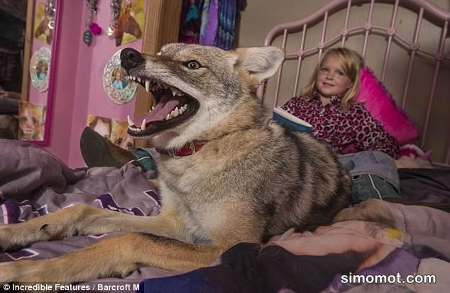 Coyote Anjing Hutan Yang Ganas Bisa Jinak Di Tangan