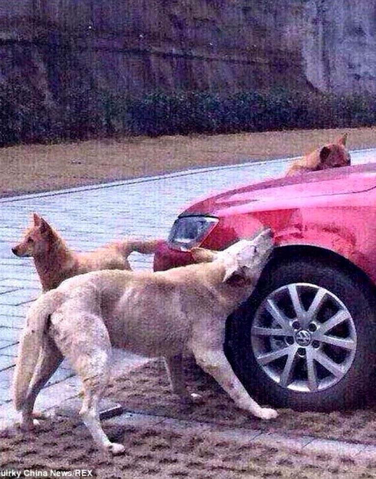 Jenis Anjing di Tiongkok 2