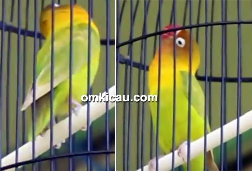 Gaya lovebird Kusumo
