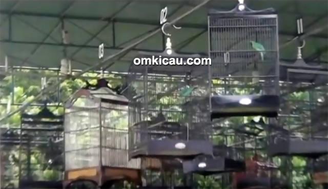 Festival Jawara Kicau-kelas cucak hijau