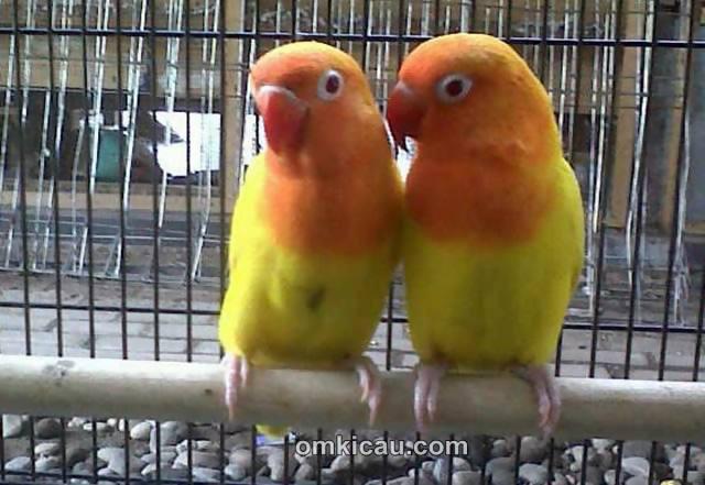 lovebird pasangan dijual burung labet