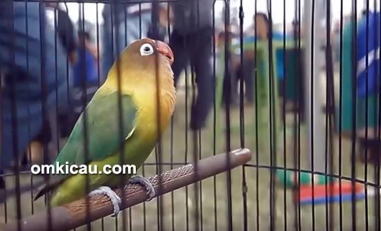 Lovebird Soldadu